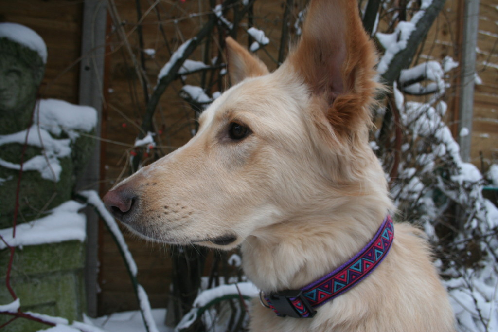 Freya in a Baskervilles Collar